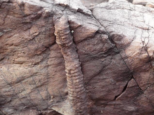 生痕(せいこん)化石:写真1