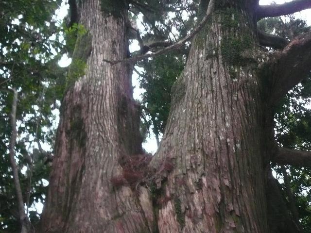 段ノ谷山天然杉群:写真1