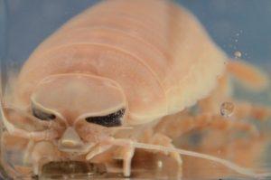 Marine isopod(Bathynomus doederleini)_down